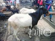 Heathy Ram | Livestock & Poultry for sale in Lagos State, Agege