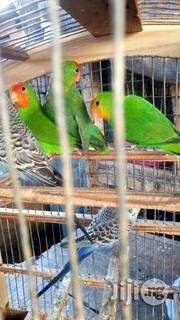 Love Parrot For Sale | Birds for sale in Lagos State