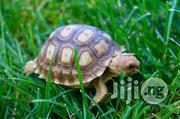 Pet Tortoise (Land And Turtle)   Reptiles for sale in Abuja (FCT) State, Kubwa