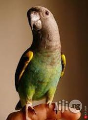 Senegalese Parrot | Birds for sale in Abuja (FCT) State, Kubwa