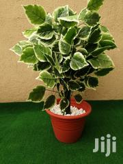 Indoor Plantain Tree | Garden for sale in Abia State, Bende