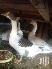 Big Geese For Sale | Livestock & Poultry for sale in Lagos State
