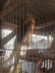 Imported Cockatiel For Sale | Birds for sale in Lagos State, Lekki Phase 1