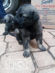 Lovely Caucasian Puppies | Dogs & Puppies for sale in Plateau State, Jos