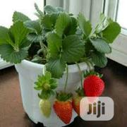 Organic Strawberry Seedlings Or Strawberry Seeds   Feeds, Supplements & Seeds for sale in Lagos State, Victoria Island