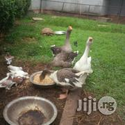 Male And Female Goose   Livestock & Poultry for sale in Lagos State, Lekki Phase 1