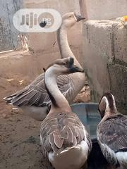 Chinese Geese   Livestock & Poultry for sale in Abuja (FCT) State, Kubwa