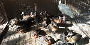 Ghanian Grove Ducks | Livestock & Poultry for sale in Kaduna State, Zaria