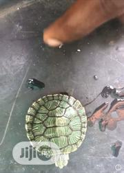 Red Ear Slider Turtle   Reptiles for sale in Lagos State, Surulere