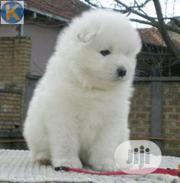Baby Female Purebred Samoyed | Dogs & Puppies for sale in Lagos State, Gbagada