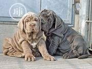 Baby Female Purebred Neapolitan Mastiff | Dogs & Puppies for sale in Lagos State, Gbagada