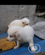 Baby Male Purebred American Eskimo Dog | Dogs & Puppies for sale in Lagos State, Victoria Island