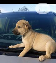 Baby Female Purebred Boerboel | Dogs & Puppies for sale in Lagos State, Shomolu