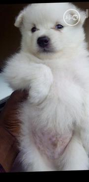 Baby Female Purebred Samoyed | Dogs & Puppies for sale in Lagos State, Kosofe