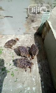 Baby Ostrich Is Available For Sale | Birds for sale in Lagos State, Ojo