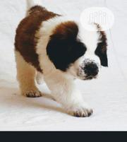 Baby Male Purebred Saint Bernard | Dogs & Puppies for sale in Lagos State, Lagos Island