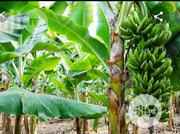 Acre Of Hybrid Plantain Farm For Sale | Land & Plots For Sale for sale in Ogun State, Abeokuta North