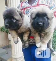 Baby Female Purebred Caucasian Shepherd Dog | Dogs & Puppies for sale in Lagos State, Isolo