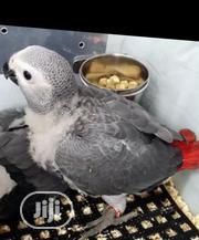 African Grey Parrots (Male/Female) | Birds for sale in Lagos State, Ikotun/Igando