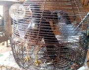 Young Falcon | Birds for sale in Lagos State, Ikorodu