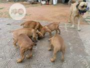 Baby Male Purebred Caucasian Shepherd Dog   Dogs & Puppies for sale in Plateau State, Langtang South