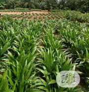 Palm Seedlet/Seeding For Sale | Feeds, Supplements & Seeds for sale in Delta State, Ndokwa West