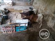 Ram For Sale | Livestock & Poultry for sale in Oyo State, Ibadan