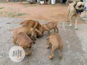 Adult Female Purebred Caucasian Shepherd Dog   Dogs & Puppies for sale in Plateau State, Langtang South