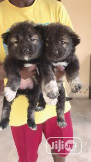 Baby Female Mixed Breed Caucasian Shepherd Dog | Dogs & Puppies for sale in Plateau State, Jos