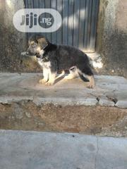 Baby Female Purebred German Shepherd Dog | Dogs & Puppies for sale in Plateau State, Jos