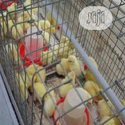 Day Old Chicks Day Old Layers Day Old Broilers | Livestock & Poultry for sale in Plateau State, Jos