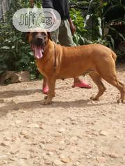 Adult Female Purebred Boerboel | Dogs & Puppies for sale in Kaduna State, Kaduna