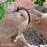 Chinese Geese   Livestock & Poultry for sale in Lagos State, Ikorodu