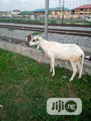 Goat And Ram | Livestock & Poultry for sale in Lagos State, Surulere