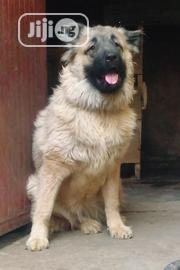 Adult Female Purebred Caucasian Shepherd | Dogs & Puppies for sale in Plateau State, Jos