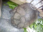 Repitles For Sale At Afforable Price   Reptiles for sale in Oyo State, Eruwa