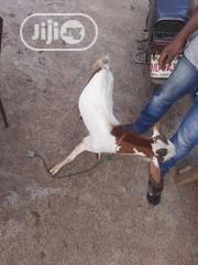 Male Goatie | Livestock & Poultry for sale in Lagos State, Lagos Island