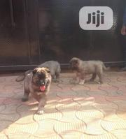 Baby Female Purebred Caucasian Shepherd | Dogs & Puppies for sale in Abuja (FCT) State, Central Business Dis
