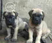 Baby Male Purebred Boerboel | Dogs & Puppies for sale in Abuja (FCT) State, Central Business Dis