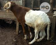 Ram For Sale | Livestock & Poultry for sale in Lagos State, Badagry