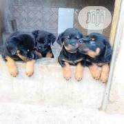 Baby Male Purebred Rottweiler | Dogs & Puppies for sale in Ekiti State, Ado Ekiti
