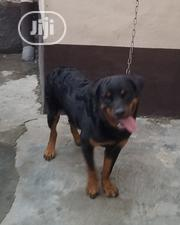 Young Male Purebred Rottweiler | Dogs & Puppies for sale in Lagos State, Gbagada