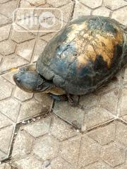 Tortoise For Sell   Reptiles for sale in Anambra State, Awka