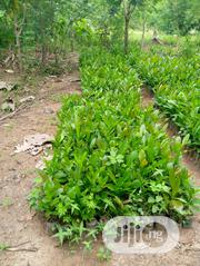 Hybrid Cashew Seedlings | Feeds, Supplements & Seeds for sale in Oyo State, Ibadan