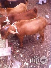 Goats And Rams (Ready To Eat) For Sale | Livestock & Poultry for sale in Katsina State, Batsari